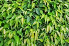 Fundo e texturas das folhas verdes Fotografia de Stock