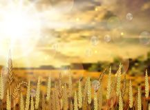 Fundo em flores da colheita do arroz ilustração royalty free