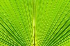 Fundo em folha de palmeira Fotografia de Stock Royalty Free