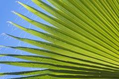 Fundo em folha de palmeira da natureza Imagens de Stock