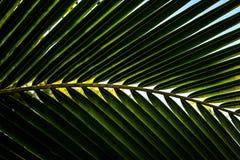 Fundo em folha de palmeira da planta do close up Fotografia de Stock