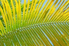 Fundo em folha de palmeira verde Imagens de Stock