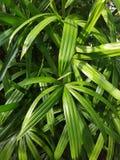 Fundo em folha de palmeira verde Fotografia de Stock
