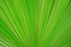 Fundo em folha de palmeira verde fresco da textura Foto de Stock Royalty Free