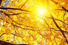 Fundo ensolarado do outono O amarelo da queda deixa no ramos com o b Foto de Stock Royalty Free