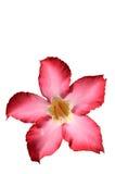 Fundo floral. Adenium tropical do rosa da flor. O deserto aumentou. Imagens de Stock Royalty Free
