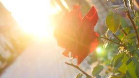 Fundo floral bonito na luz do por do sol do sol do verão da noite Fotos de Stock Royalty Free