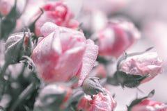 Fundo floral borrado das rosas Imagens de Stock Royalty Free