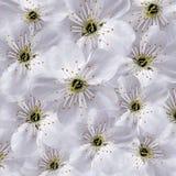 Fundo floral branco Grande cereja branca das flores colagem floral Composição da flor Foto de Stock