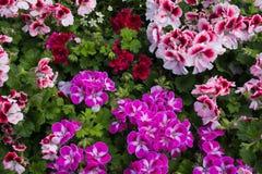 Fundo floral com as flores coloridas dos gerânio no jardim imagem de stock royalty free