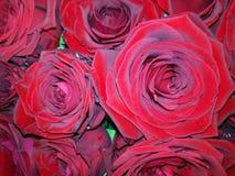 Fundo floral com as rosas vermelhas grandes foto de stock