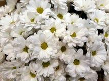 Fundo floral com crisântemos brancos fotos de stock