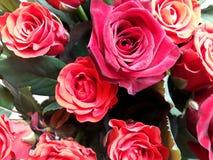 Fundo floral com rosas vermelhas Imagens de Stock Royalty Free