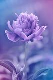Fundo floral da peônia feito com os filtros de cor em tons azuis e roxos Imagem de Stock Royalty Free
