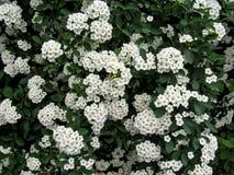 Fundo floral de uma florescência branca do spiraea Imagens de Stock Royalty Free