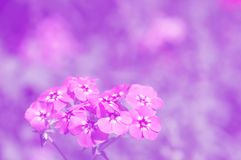 Fundo floral delicado nas máscaras do roxo Flores bonitas, foco seletivo Foto de Stock