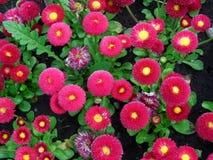 Fundo floral do verão de flores da natureza- do perenni do Bellis Fotografia de Stock