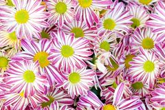 Fundo floral dos crisântemos violetas Os mums amarelos cor-de-rosa brancos coloridos florescem a foto do close-up Foco seletivo Fotografia de Stock