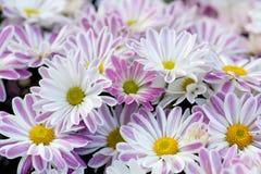 Fundo floral dos crisântemos violetas Os mums amarelos cor-de-rosa brancos coloridos florescem a foto do close-up Foco seletivo Foto de Stock Royalty Free