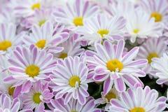 Fundo floral dos crisântemos violetas Os mums amarelos cor-de-rosa brancos coloridos florescem a foto do close-up Foco seletivo Imagem de Stock
