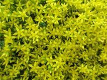 Fundo floral homogêneo brilhantemente amarelo de uns lotes do acre de Sedum das florets-estrelas Fotografia de Stock