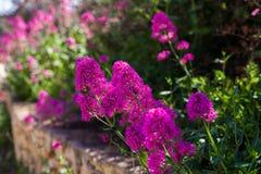 Fundo floral natural Flores roxas no jardim - ajardine o projeto Imagem de Stock
