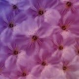 Fundo floral roxo Grande cereja branca das flores colagem floral Composição da flor Imagens de Stock Royalty Free