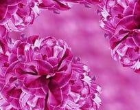 Fundo floral tulipas Cor-de-rosa-brancas das flores colagem floral Composição da flor Fotografia de Stock