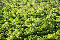 Fundo - florestas do Brachystegia Fotografia de Stock Royalty Free