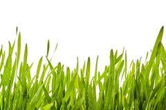 Fundo fresco da grama da mola com gotas de orvalho Fotos de Stock