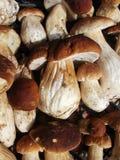 Fundo fresco do boleto do cogumelo Autumn Cep Mushrooms Imagens de Stock