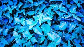 Fundo frondoso, matiz do azul esverdeado, e gotas da chuva Imagem de Stock Royalty Free