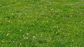 Fundo heterogêneo da grama do verão verde com dentes-de-leão de florescência Fotografia de Stock Royalty Free