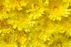 Fundo isolado da margarida amarela das flores com um núcleo amarelo e umas pétalas alaranjadas imagem de stock royalty free