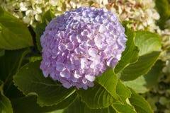 fundo Lilás-cor-de-rosa da hortênsia imagens de stock royalty free