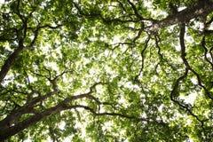 Fundo liso das árvores Imagem de Stock