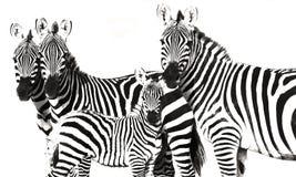 Fundo listrado de Grunge da zebra Imagem de Stock