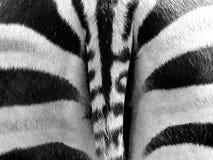 Fundo listrado de Grunge da zebra Fotos de Stock