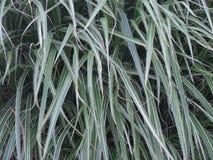 Fundo longo da textura da folha da planta Imagem de Stock