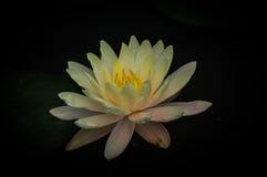 Fundo Lotus Imagem de Stock