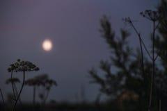 Fundo místico do prado com grama alta perto da floresta conífera na noite na luz de Lua cheia Fotos de Stock