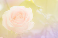Fundo macio do foco de Rosa Foto de Stock