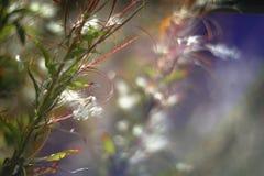 Fundo macio e obscuro romântico da natureza do verão com a salgueiro-erva no por do sol, efeito do bokeh da lente do vintage imagens de stock