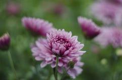 Fundo macro da arte abstrato das flores bonitas com um foco macio Cor-de-rosa e roxo floresce o crisântemo na natureza sobre imagem de stock royalty free