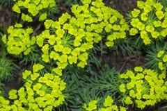 Fundo macro do close up das flores verdes amarelas e das folhas de cyparissias do eufórbio, a planta do milkweed do spurge do cip fotografia de stock royalty free