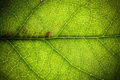 Fundo macro extremo da foto do close up da estrutura de superfície áspera detalhada fresca verde natural da folha imagem de stock