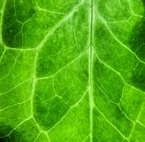 Fundo macro extremo da textura da biologia do verde da foto do close up da estrutura de superfície áspera verde fresca da folha imagem de stock
