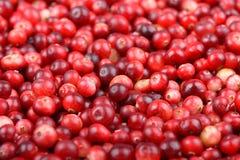 Fundo maduro vermelho dos arandos Bagas do foxberry da airela Fotos de Stock Royalty Free