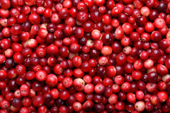 Fundo maduro vermelho dos arandos Bagas do foxberry da airela Fotografia de Stock