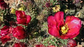 Fundo magenta exótico da flor do cacto do Arizona fotos de stock royalty free